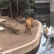 ライオンも うっかり 池に堕ちる