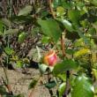 公園の蔓バラの剪定&誘引