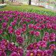 昭和記念公園のチューリップ 2