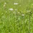 川の土手でハナウドの花が咲き始めている