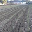 ぬかるみ大変だった小麦の畝間除草
