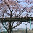 伊坂ダムの花絨毯