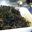 今年は山で収穫した山葡萄