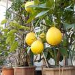 レモン・ポンテローザ Lemon Ponterosa