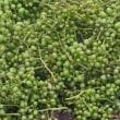 「埼玉青大丸茄子」苗・「泉州絹皮水茄子」苗・「ひとくちメロン」苗の植え付け