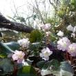 倉手山と石楠花