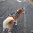 お散歩が上手になりました