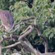 6/25探鳥記録写真2(鞍手町:サギヤマの模様:アマサギ、ホシゴイほか)