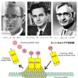 第68回ノーベル生理学・医学賞 神の創造領域「遺伝情報の解読とそのタンパク質合成への役割の解明」