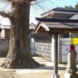 埼玉県さいたま市見沼区、十王尊の大イチョウです!!
