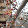 桜はまだでした