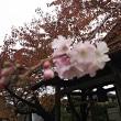 先週、季節外れの桜が🌸