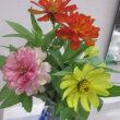 百日草(ひゃくにちそう)という花