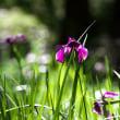 仙界の山荘 : 野花菖蒲が咲き・・・「特許許可局」の鳴き声・・・!!