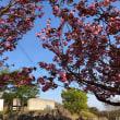 横岳自然公園の八重桜が満開です