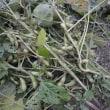黒豆の収穫です。