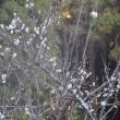 「梅」がけっこう開花ですよ!