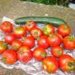 中玉トマトを収穫する