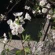 今の桜、、