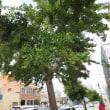 銀杏の街路樹