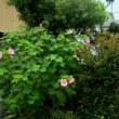 芙蓉の花の咲きたれど・・・。