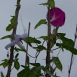 雨後の朝顔<花だより>