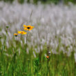 初夏のチガヤの白い穂をバックにオオキンケイギクを撮ってみます。(Photo No.14340)