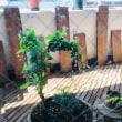 鳥取の大根とネギの花☆