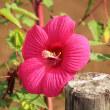 まだ咲くタイタンビカス