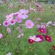 そばの花とコスモス