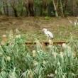 アオサギ、オオバン、ハクセキレイ@小名木川、11/13