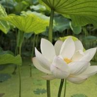 愛西市の蓮の花 ②