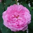 昨日の夕方に咲いていた、コンテドシャンボール(二番花)