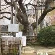 埼玉県ふじみ野市、亀久保地蔵院のしだれ桜です!!
