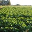 ビート(砂糖大根)の収穫作業