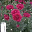 菊の花 ビクトリーブーケ