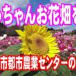 じっちゃんお花畑を歩く『鹿児島市都市農業センターのコスモス』