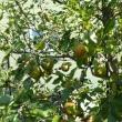 北海道「えこりん村・ガーデンセンター花の牧場」の洋梨 / バートレット 2017年10月16日(月)