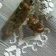 セミの幼虫(*´∇`)