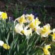 春が来た、花盛り・・・ありきたりだけどオキナグサ、水仙・・・