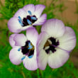 ギリアトリコロールの種まき/ネモフィラマキュラータ/アルセアピーチズドリーム/アルセアムーンライト