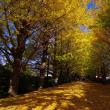 昭和記念公園の銀杏