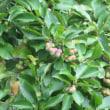 こぶし(kobus magnolia ) の実、  県立三木山森林公園
