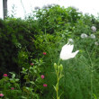 咲き始めました。白のキキョウの花