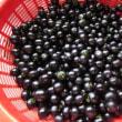 昨日の収穫。(ミニトマト キュウリ ナス ニラ ガーデンハックルベリー)