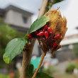 庭のムクゲに発生:アカホシカメムシ