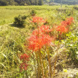 畦道に、彼岸花が咲く季節。