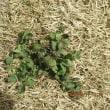 芝生に除草剤を散布して5日目効き目が足りなうようだ
