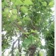 わたんちゃんからもらった梅の木