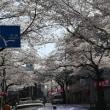 中野通り桜並木
